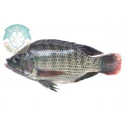 Pescado de Tilapia